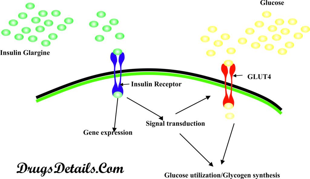 Insulin Glargine : Mode of action