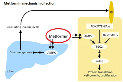 how does the medicine metformin work