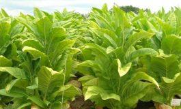 Tobacco plant Nicotiana tobacum