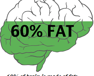 is the brain made of fat or muscle