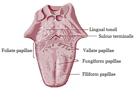 enlarged circumvallate papillae � definition normal vs
