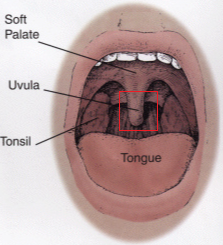 What is the uvula and where is it located