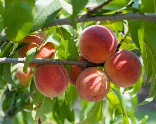 What fruits contain amygdalin?