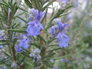 how to use rosemary essential oil for memory