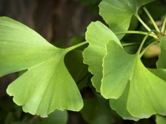 Ginkgo: family, products, uses, evidence, dosage, side effects, interactions
