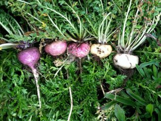 Maca: family, products, uses, evidence, dosage, side effects, interactions