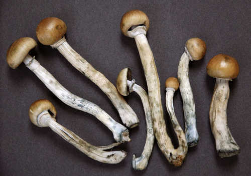 A closer look at shrooms or also known as the magic mushroom image photo picture